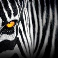 Зебра Полосатая